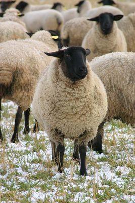 Schaf im Auge