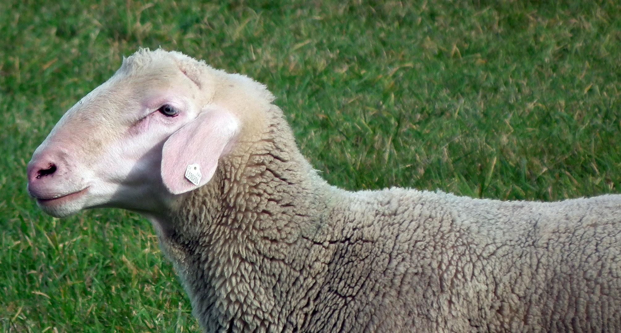 Schaf im Profil