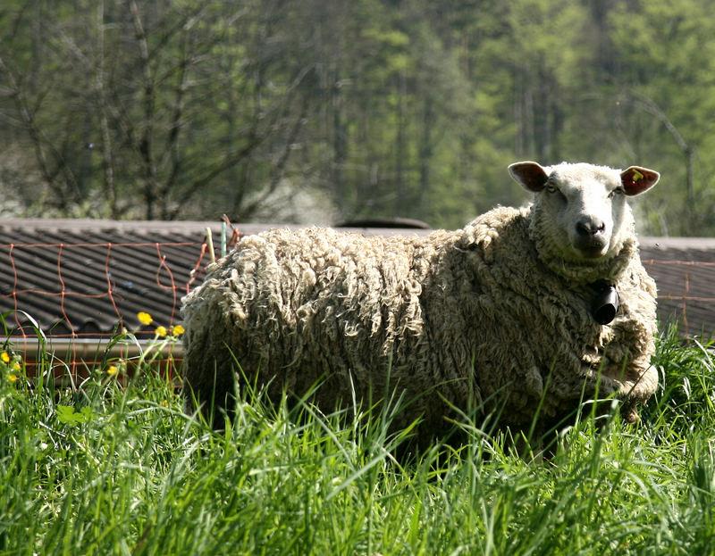 Schaf im safigen grün