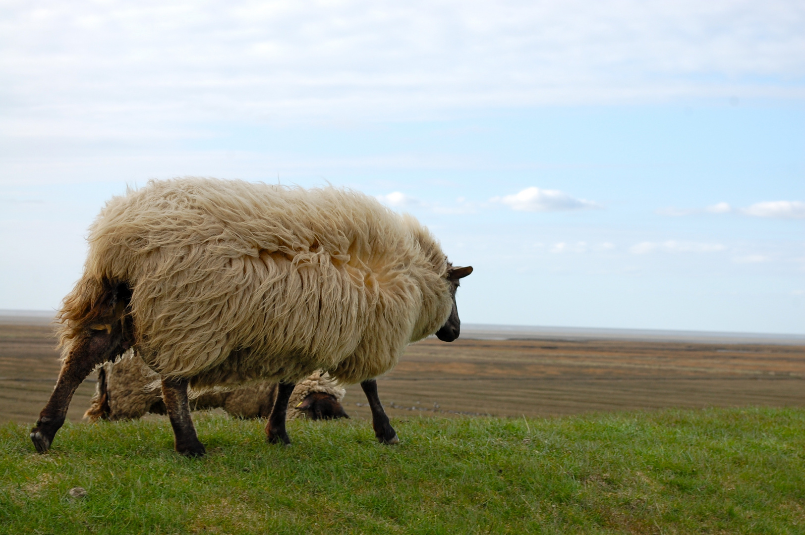 Schaf im Wind