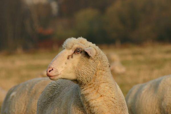 Schaf in der Morgensonne