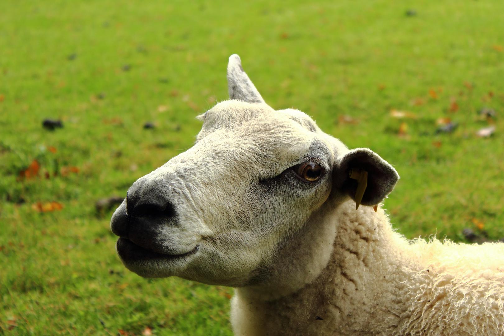 Schaf in Utrecht (Niederlande)