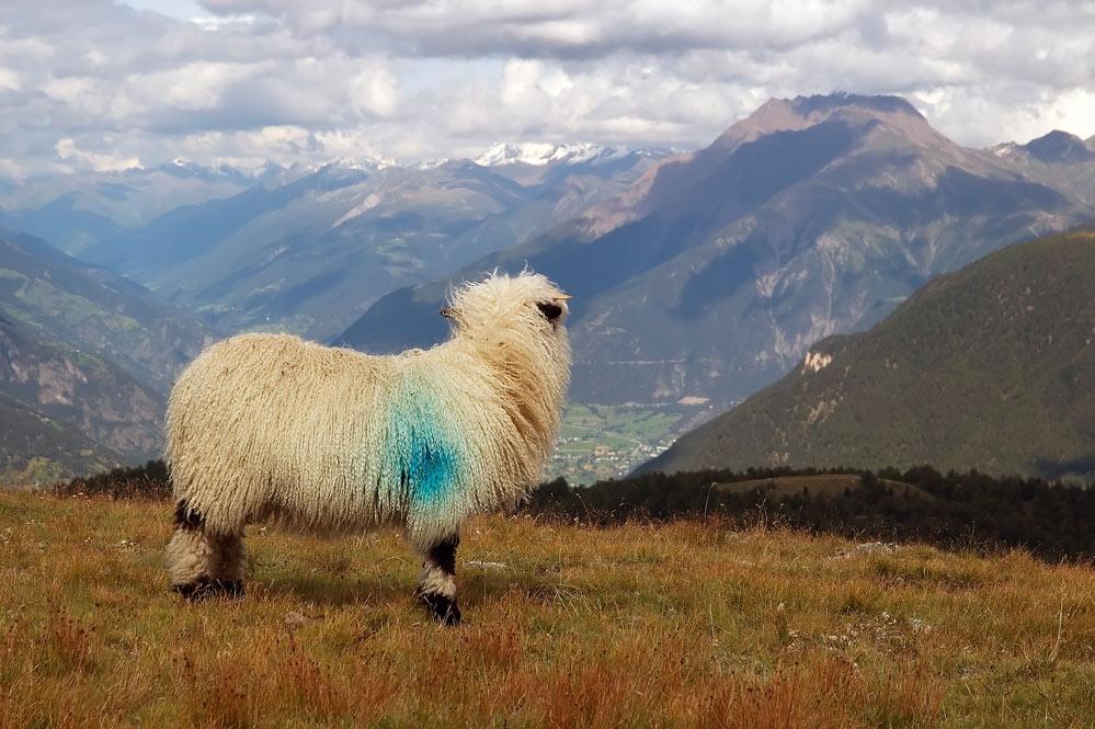 Schaf mit Aussicht