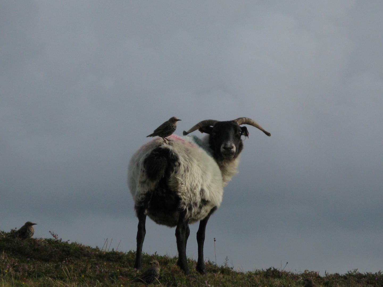 Schaf mit Freund