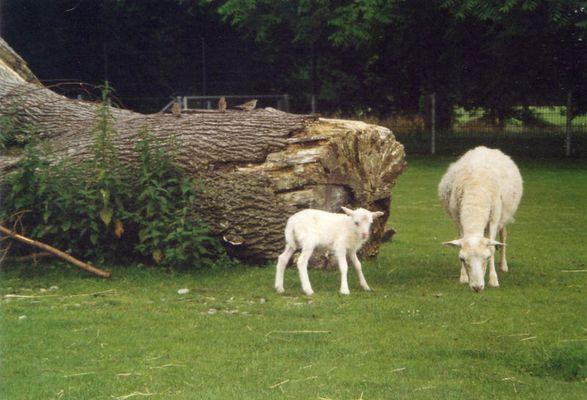 !!! Schaf mit ihrem Baby im Streichel Zoo !!!