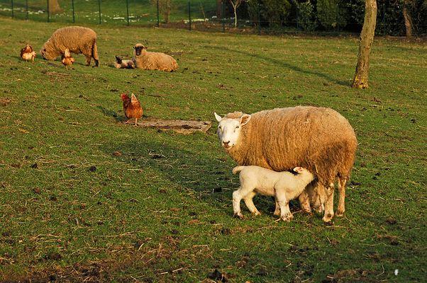 Schaf mit Lamm (zur Einstimmung auf Ostern:-)