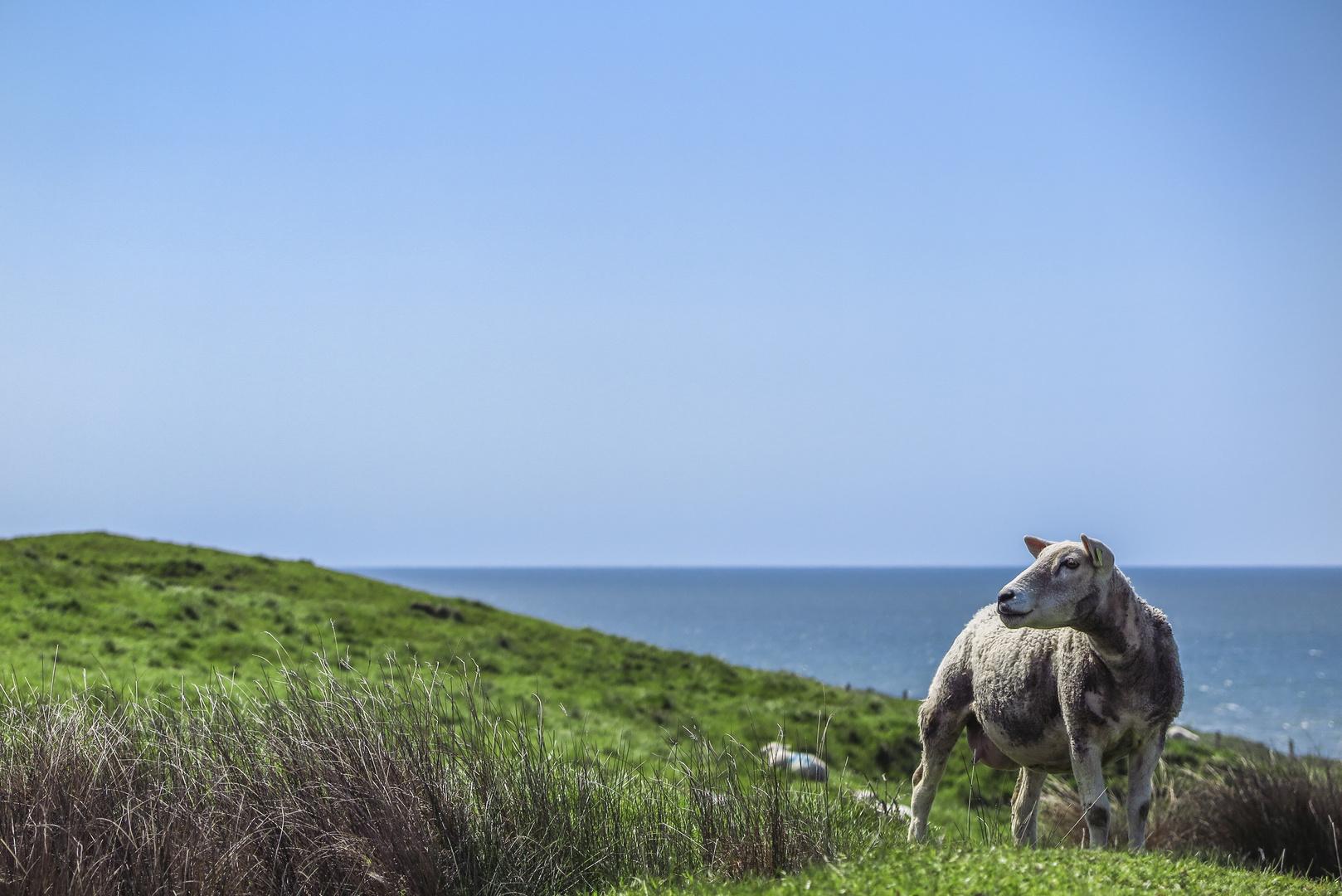 Schaf müsste man sein