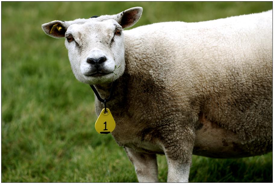 Schaf Nummer 1