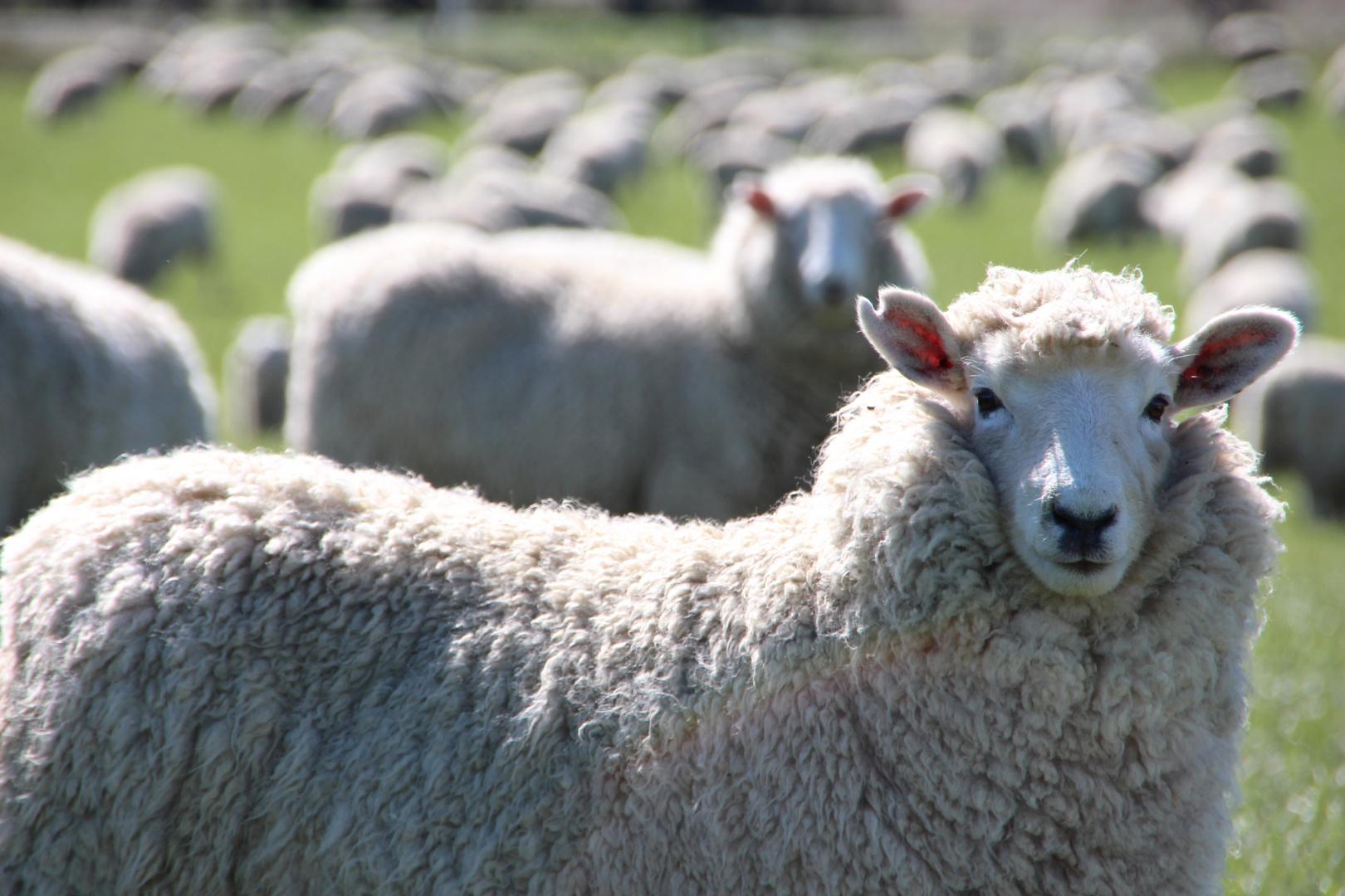 Schaf oder unscharf?