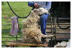 Schaf scheren 1