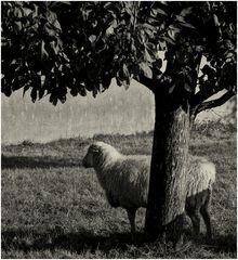 Schaf und Baum