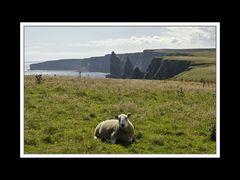 Schaf vor den Stacks of Duncansby