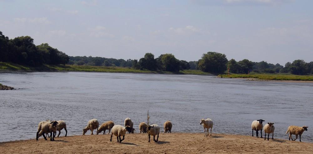 Schafbeweidung auf den Buhnen an der Elbe