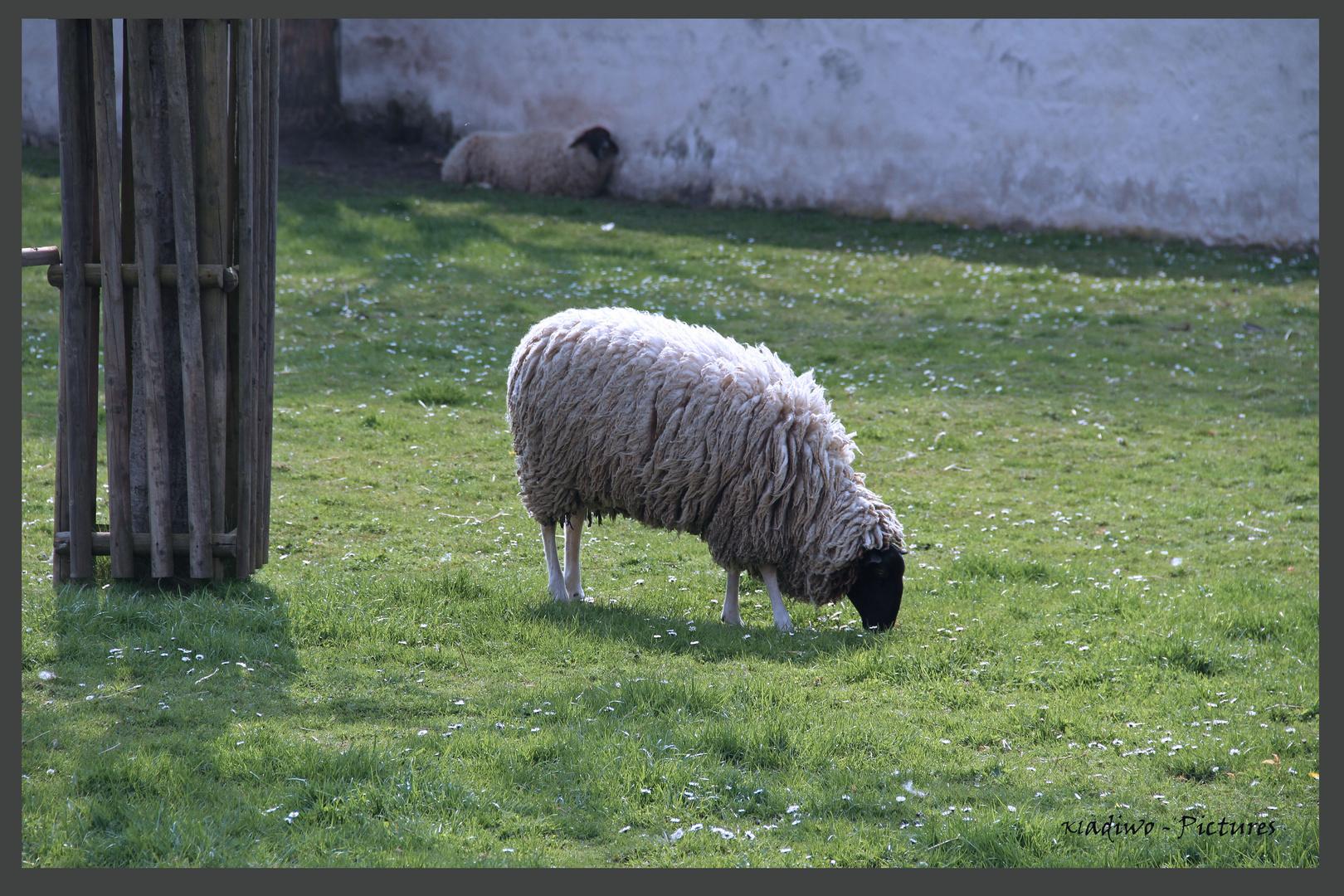 Schafe 01