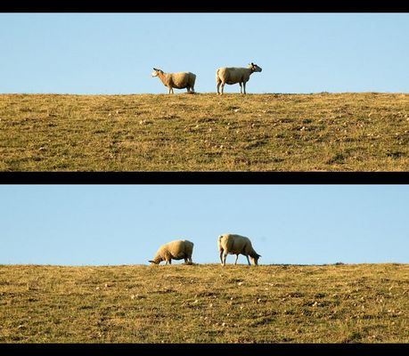 Schafe [1]