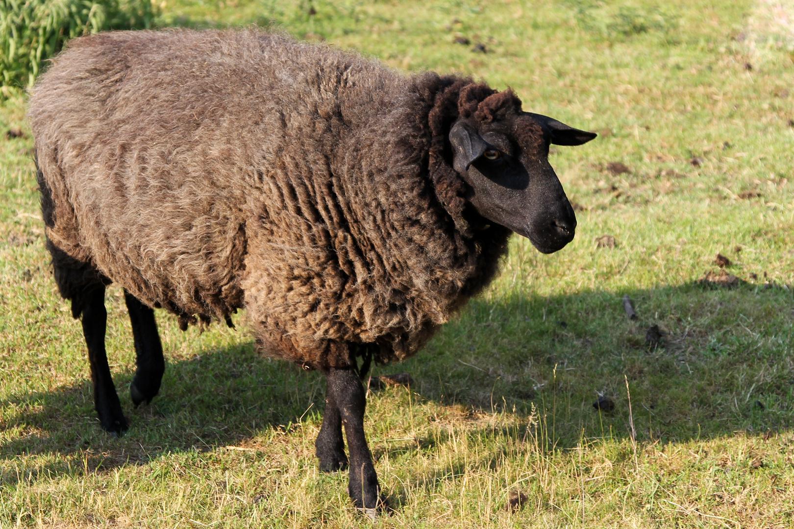 Schafe #2