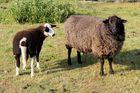 Schafe #3
