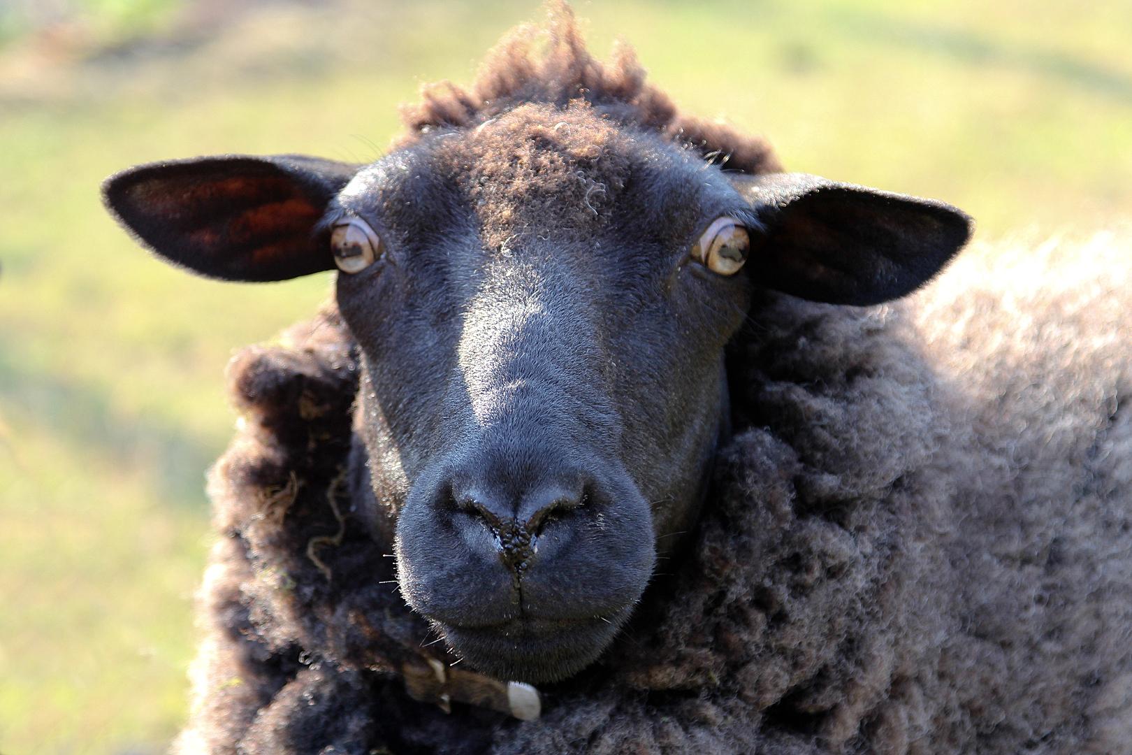 Schafe #4