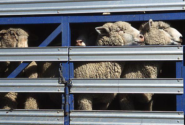 Schafe, ...