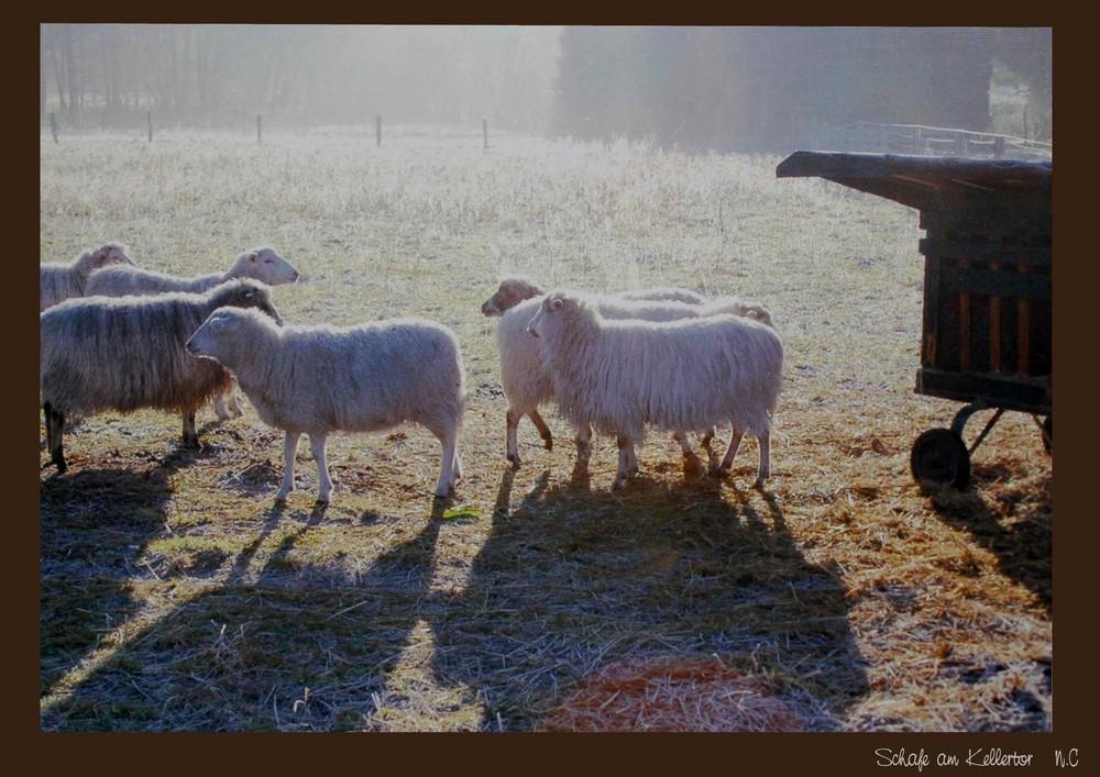 Schafe am Kellertor