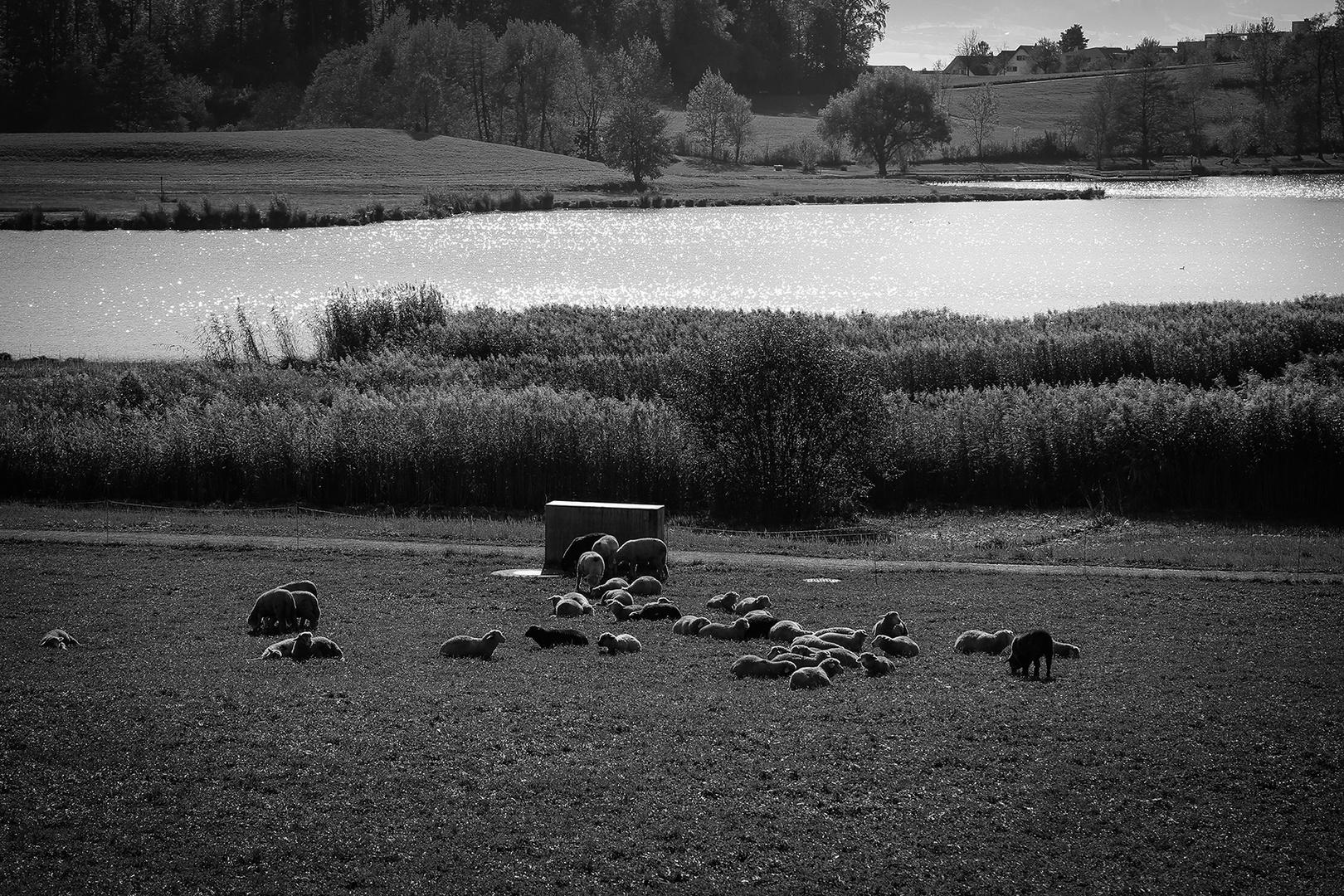 Schafe am Lützelsee
