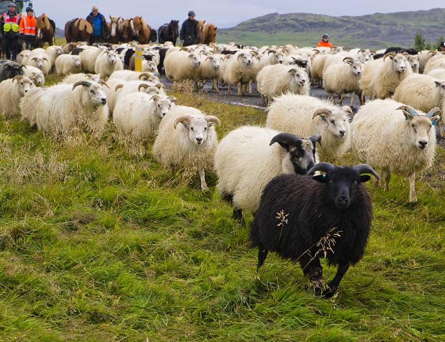 Schafe am Morgen und Abend