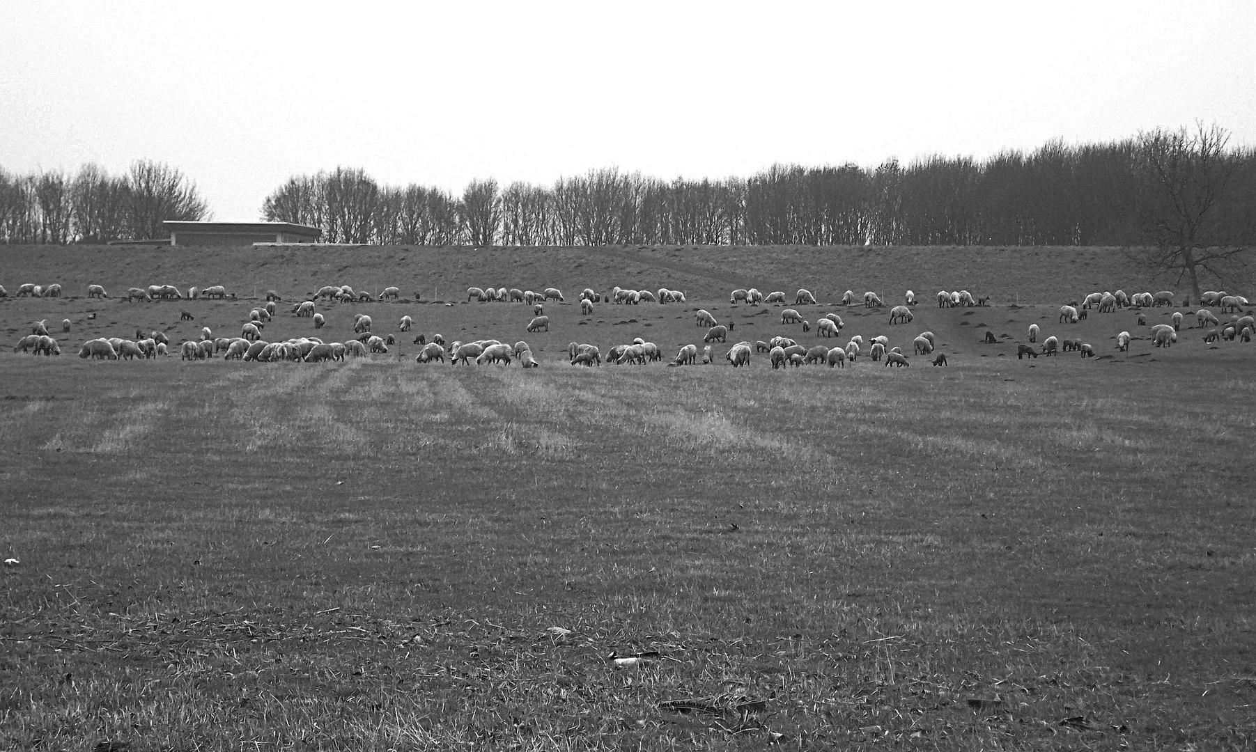Schafe am Rheindamm bei Wesel..