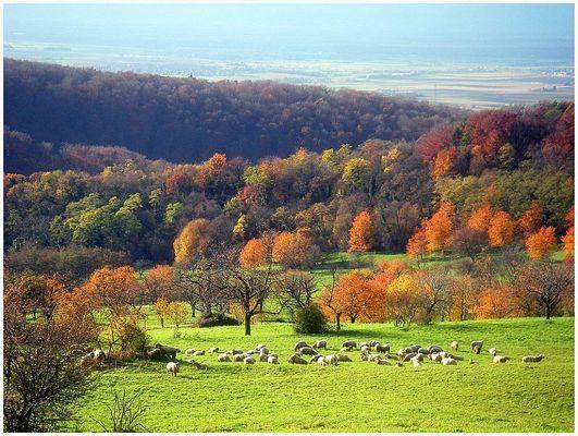 Schafe am Schönberg zu Freiburg