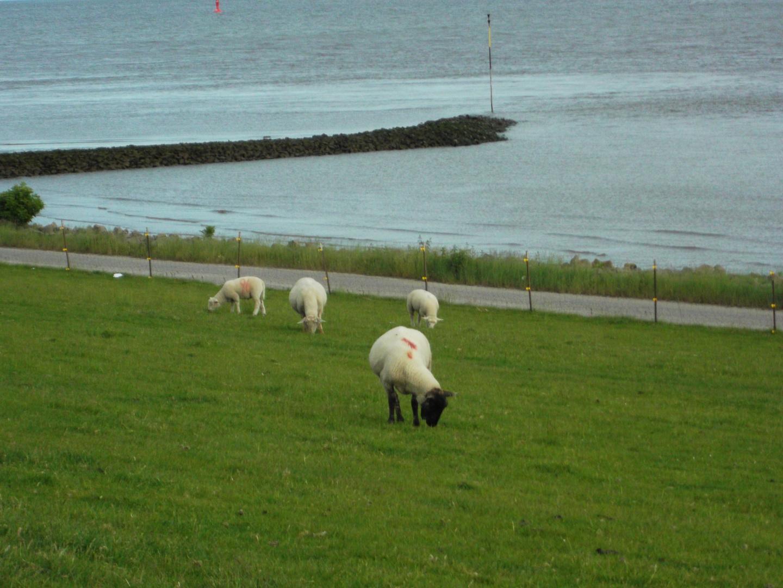 Schafe auf dem Deich von Brunsbüttel