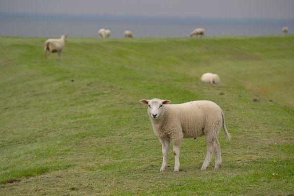Schafe auf dem Nordseedeich :-)