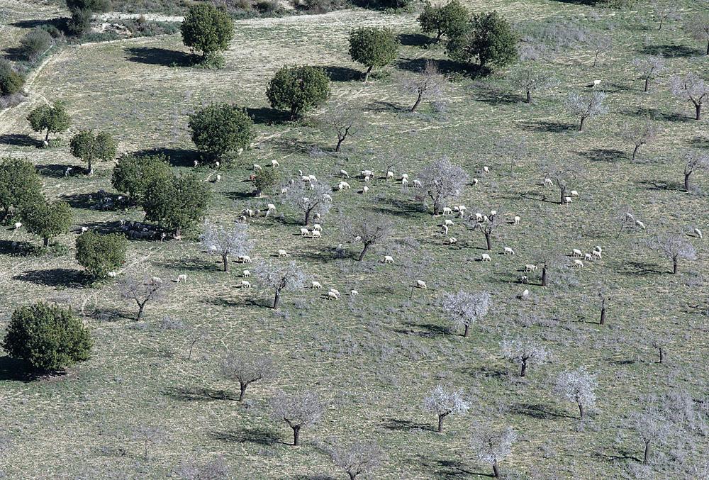 Schafe auf Mallorca