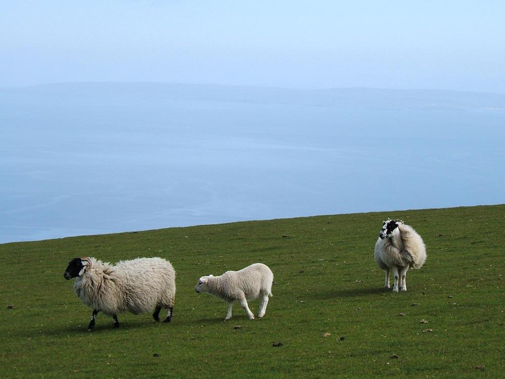 Schafe auf Skye (Schottland)