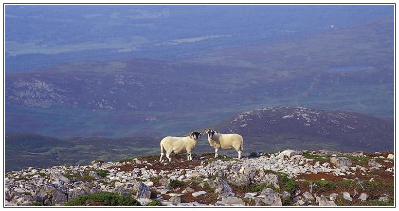 Schafe bei der Besteigung eines Munros in Schottland