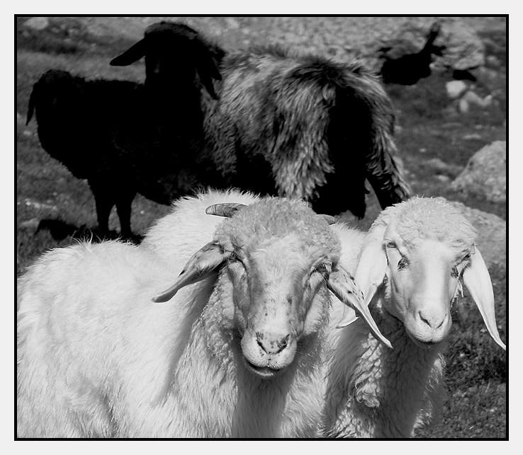 Schafe blicken auf