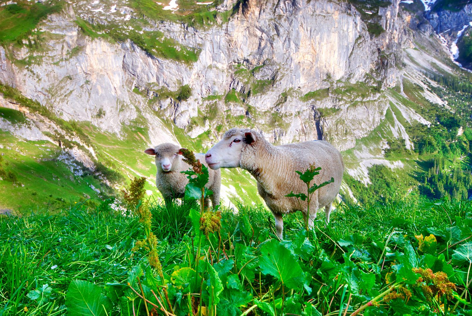 Schafe, deren II