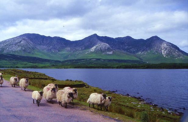 Schafe + grün + felsen = irland