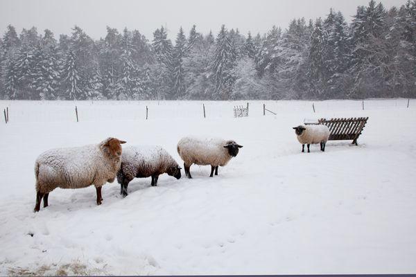 Schafe haben Outdoorkleidung