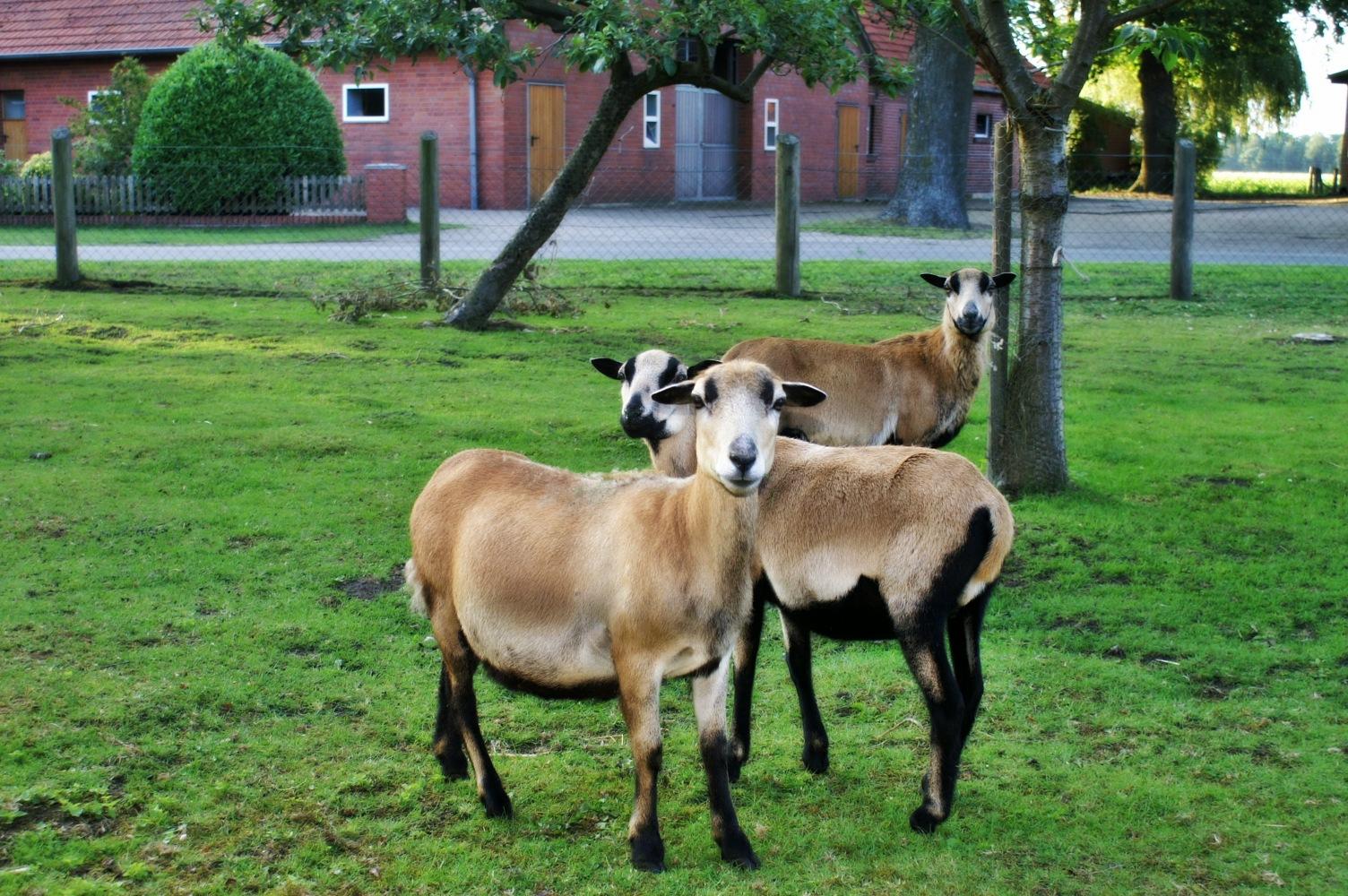 Schafe hinter unserem Haus:-)