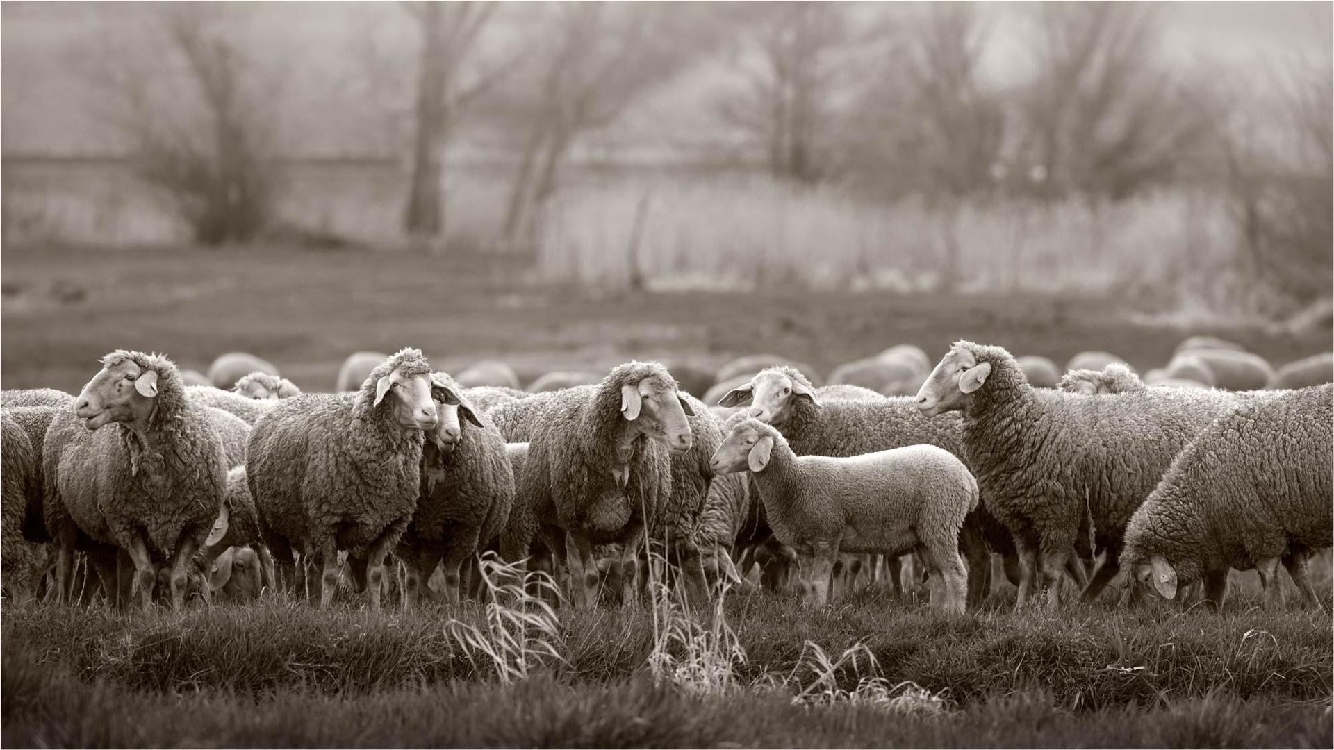 Schafe im Ebrachgrund