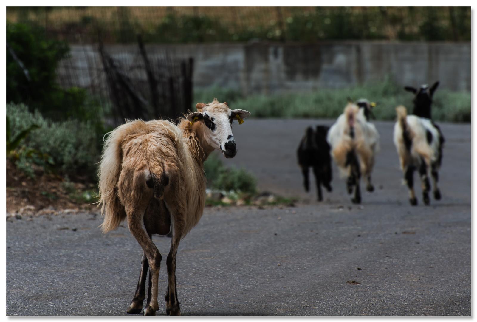 Schafe im Gebirge