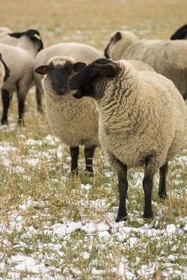 Schafe im Gespräch