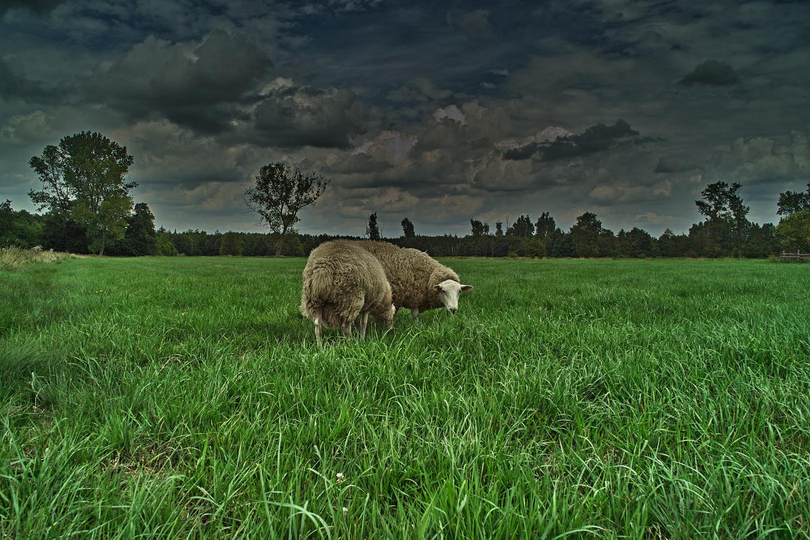 Schafe im großen Torfmoor