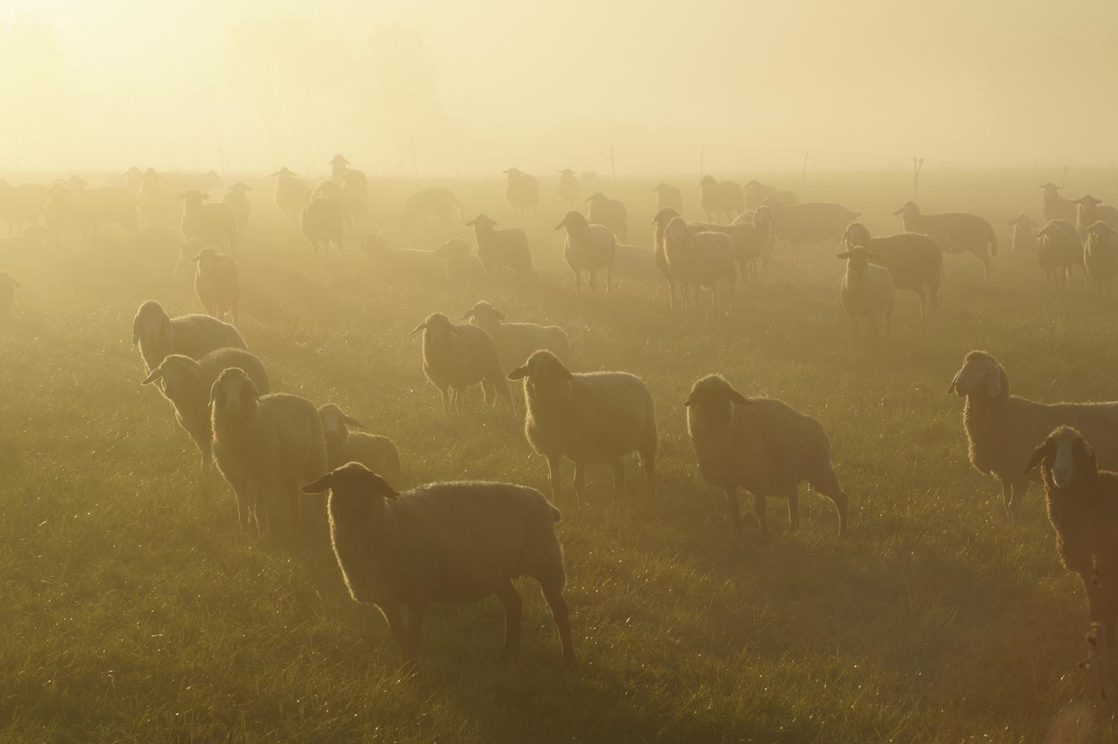 Schafe im Morgensonnennebel