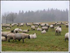 Schafe im Nebel (2)