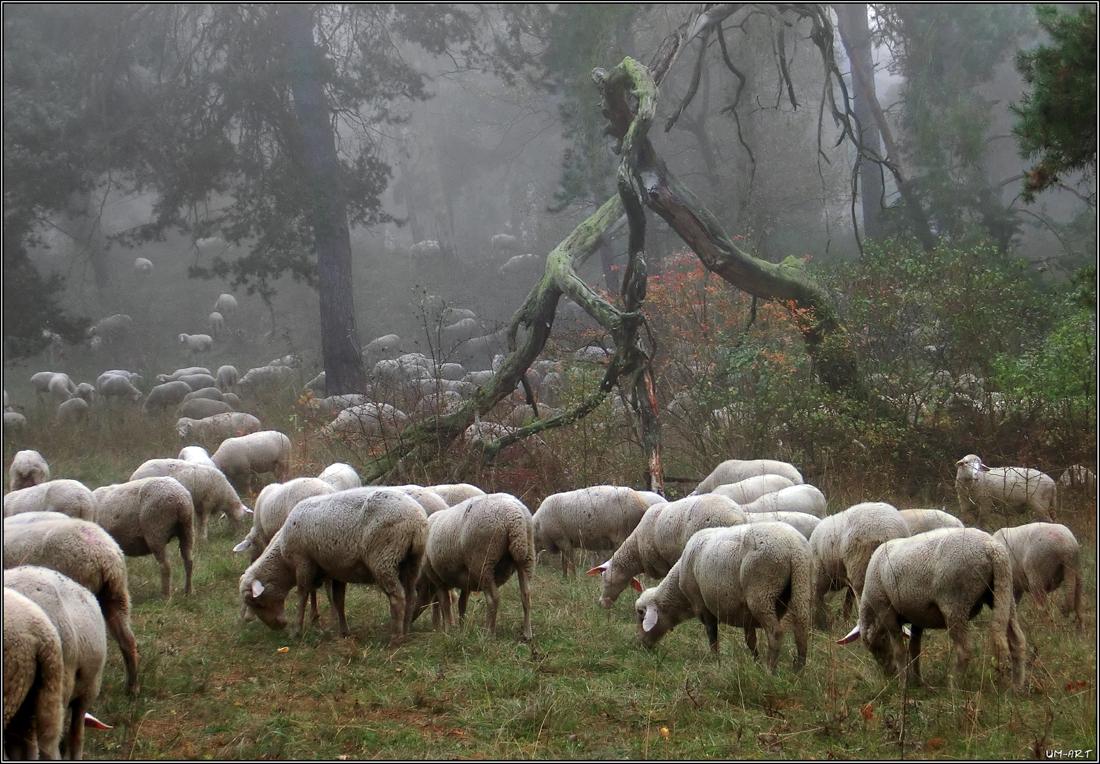 Schafe im Nebel...