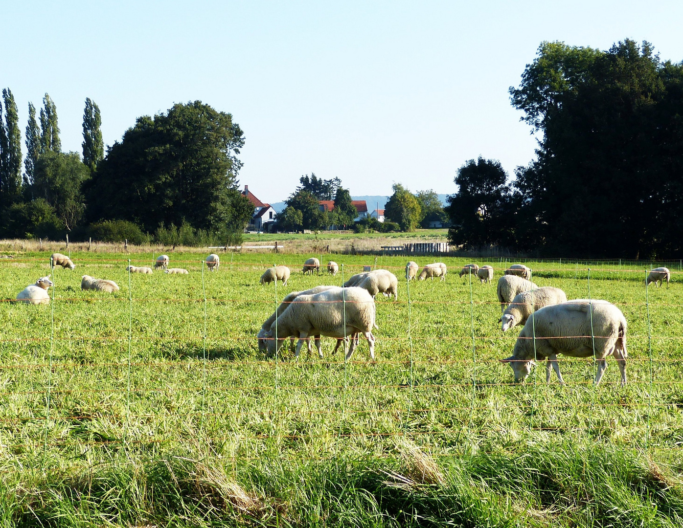 Schafe im Werster Siek