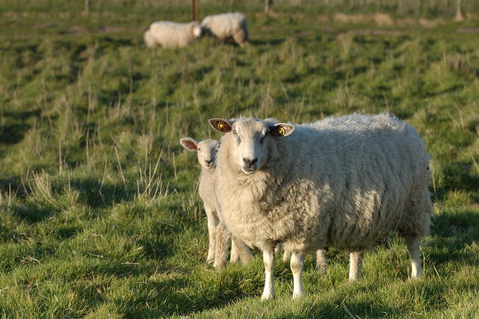 Schafe in Abendsonne