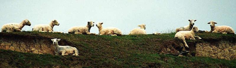 Schafe in New Zealand (wo denn sonst?)
