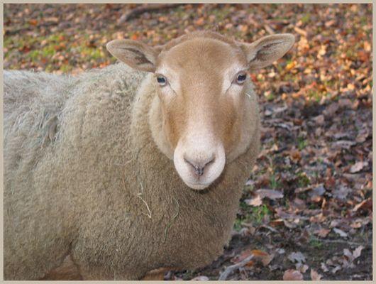 Schafe können schon blöd gucken