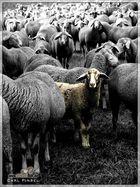 Schafe mit Schaf